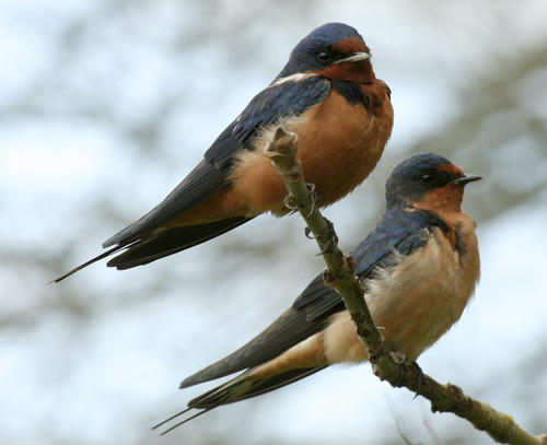 Barn-Swallow-pair.jpg