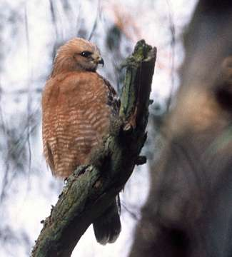 Red Shouldered Hawk (USFWS)