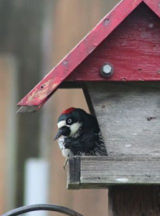 Acorn Woodpecker - Image Rob Kredenburg