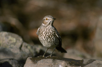 Sage Thrasher Courtesy of the USFWS