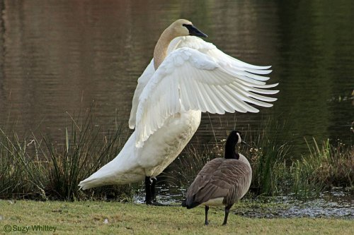 Trumpeter Swan and Goose