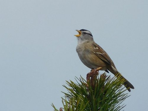 White-crowned Sparrow by John Green