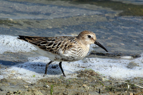 Dunlin - Image by Charles J Sharp