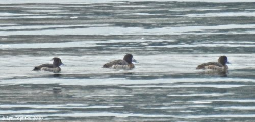Tufted Duck/ Greater Scaup - Lyn Topinka