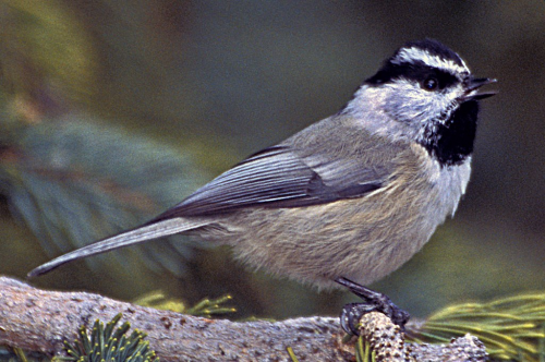 Mountain Chickadee - Image courtesy of Peter Wallack