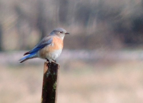 Western Bluebird at Woodland Bottoms in February 2019 - Image by Terry Anderson