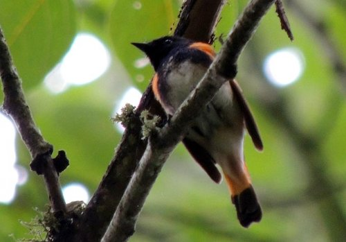 American Redstart - Image courtesy of Terry Anderson