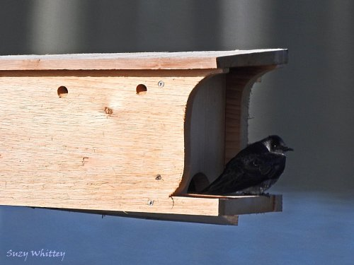 Purple Martin - Image by Suzy Whittey