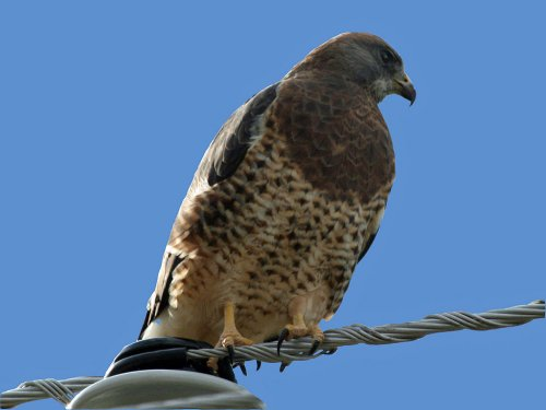 Swainson's Hawk - Image courtesy of Dick Daniels