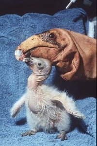 Condor chick Hoy is being fed by condor feeding puppet (USFWS photo)