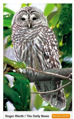 Barred Owl (Roger Werth / Daily News)