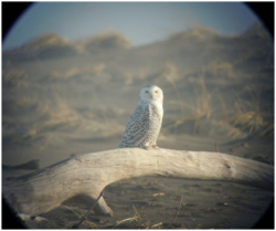 One of two Snowy Owls found by the Leadbetter Point Christmas Bird Count. Image: Shawn Schmelzer