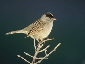 Golden-crowned Sparrow (U.S. FWS)