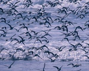 Sanderlings (Image: USFWS)