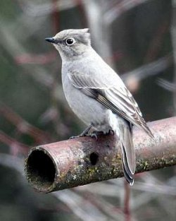 Townsend Solitaire - Image WDFW