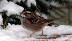 White-throated Sparrow (Photo: Dr. Thomas G. Barnes/USFWS)